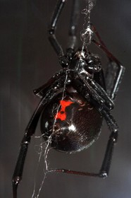 black-widow-spider-by-velo-steve.jpg