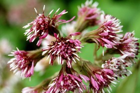 Butterbur is a good natural remedy for a pollen allergy. photo by amortize on Flickr