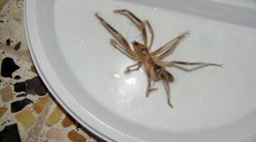 Camel Spider Facts And Myths – Camel Spider Size, Speed & Other Dangers Explained Here